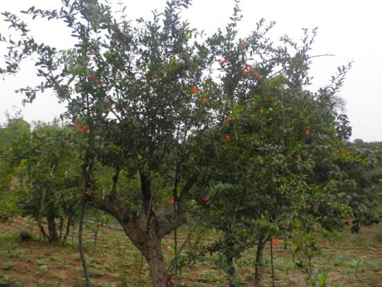 成年大石榴树 突尼斯软籽石榴树